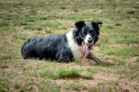 Border Collies, 2014, NM